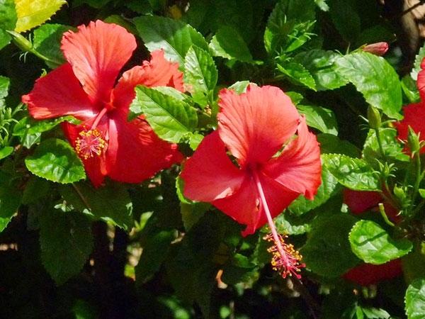 Bột hoa dâm bụt