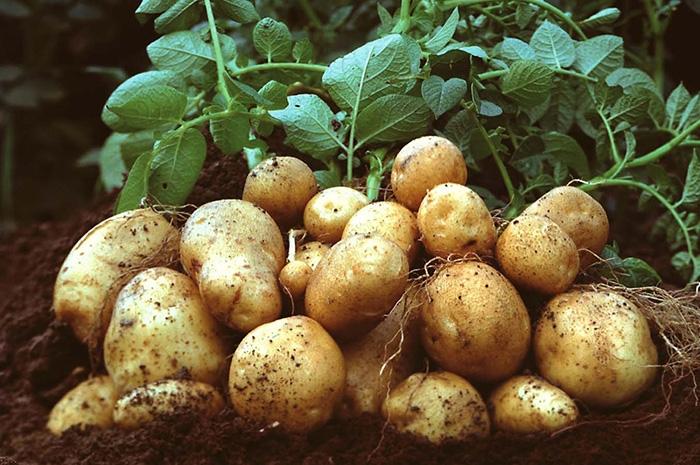 Công dụng của bột khoai tây trong nấu ăn và làm đẹp