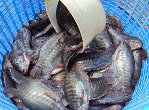 khô cá sặc rằn