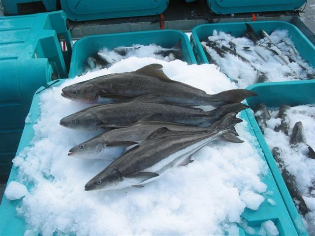 cá bớp đông lạnh