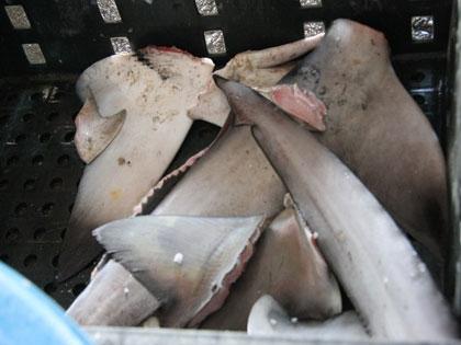 vi cá mập