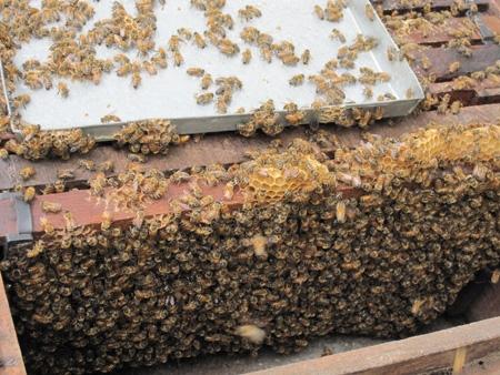 mật ong nguyen chất
